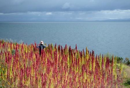 red-and-yellow-quinoa-lago-titicaca